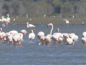 A huge flock of pink flamingoes in Lake Kerkini